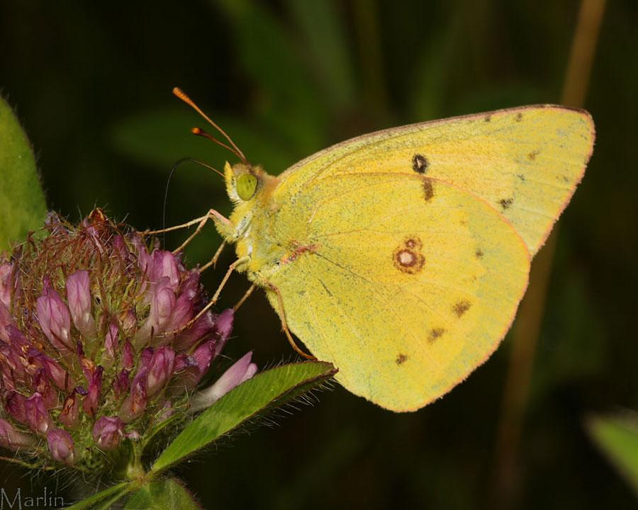 Cloudless Sulphur Butterflies and Caterpillars | Catherine ... |Clouded Sulphur Butterfly