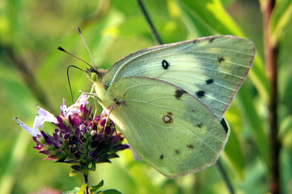 Cloudless Sulphur Butterfly's Survival In Costa Rica |Clouded Sulphur Butterfly