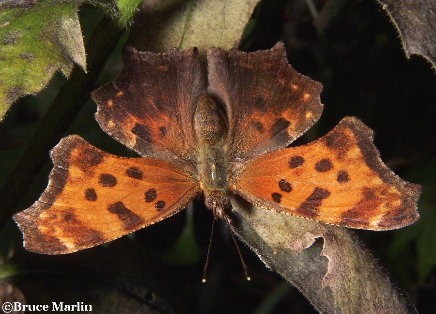 Gray Comma Butterfly - Polygonia progne
