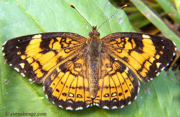 Silvery Checkerspot - Closyne nycteis