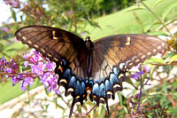 Tiger Swallowtail, black female