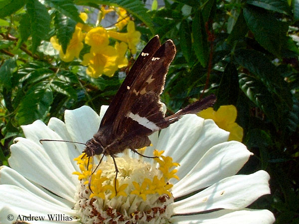 White-striped Longtail Skipper