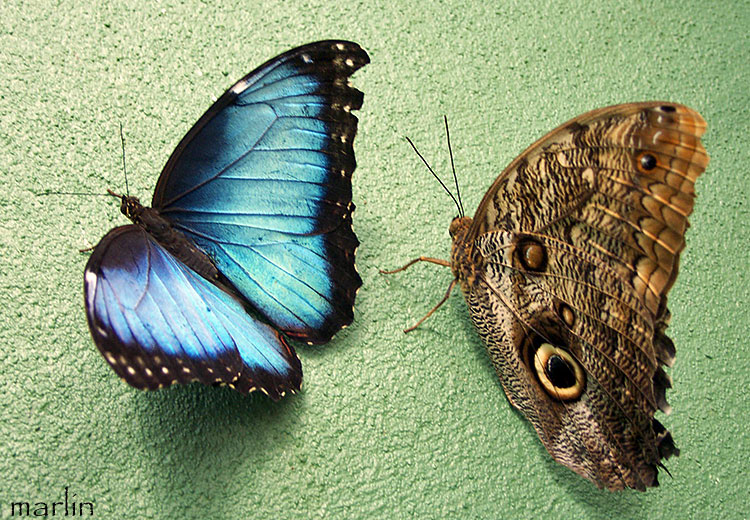 Blue Morpho on left, Owl butterfly on right