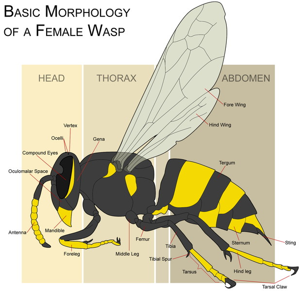 Wasp Morphology via Wikimedia Commons