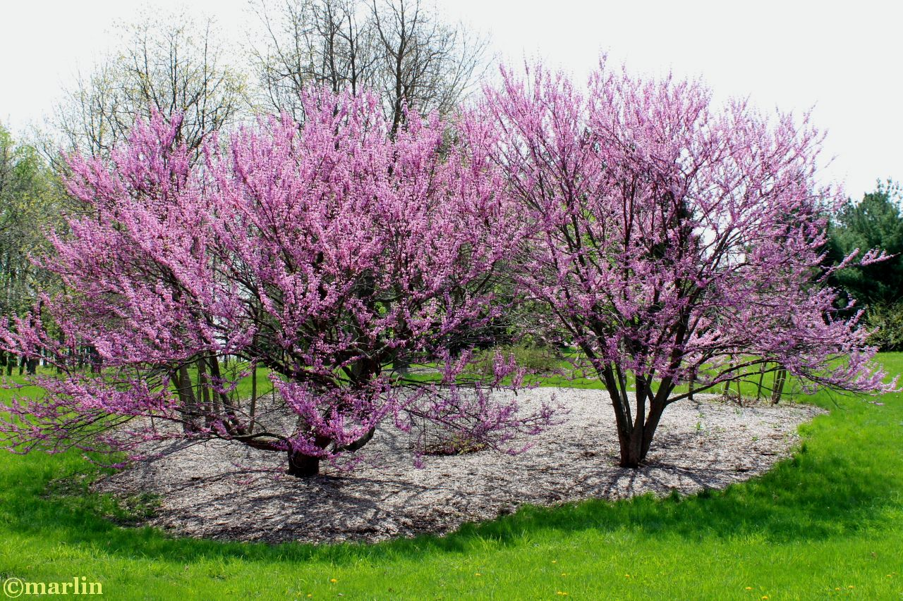 Eastern Redbud - Cercis canadensis