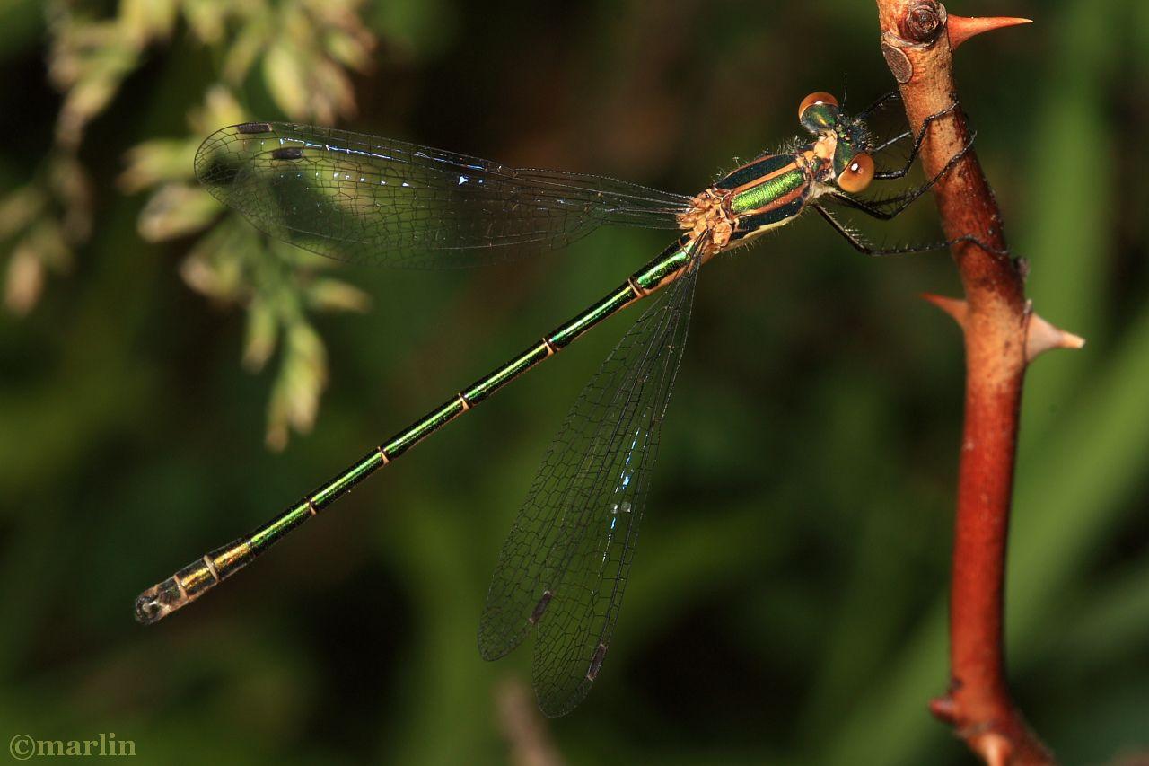 Emerald Spreadwing Damselfly - Lestes dryas