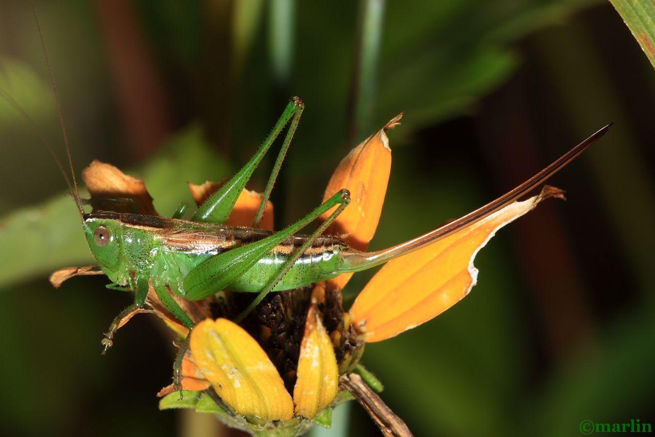 Straight-lanced Meadow Katydid - Conocephalus strictus
