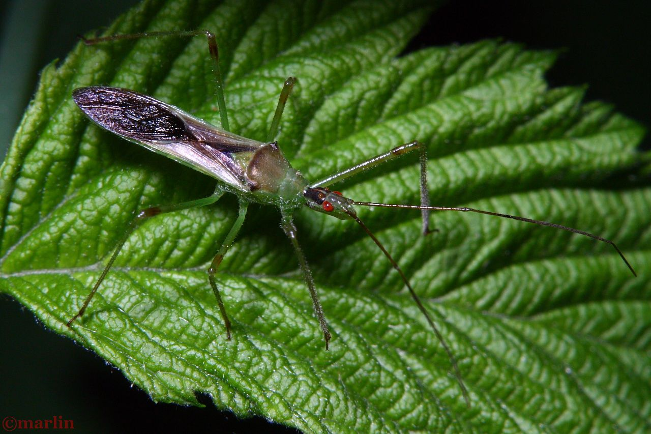 Assassin Bug - Zelus luridus