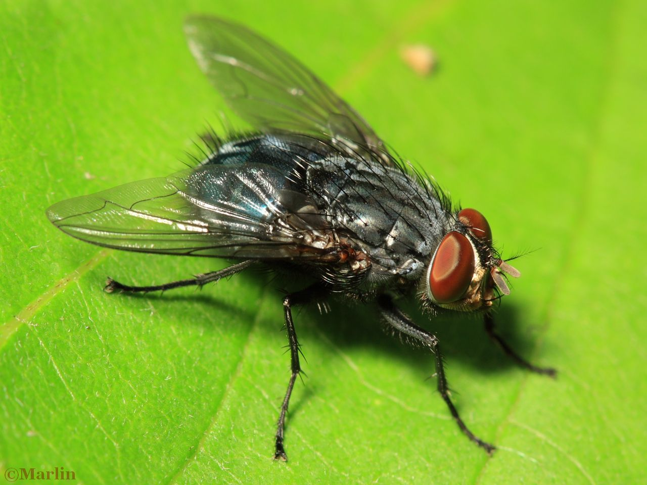 Blue Blow Fly, Calliphora vicina
