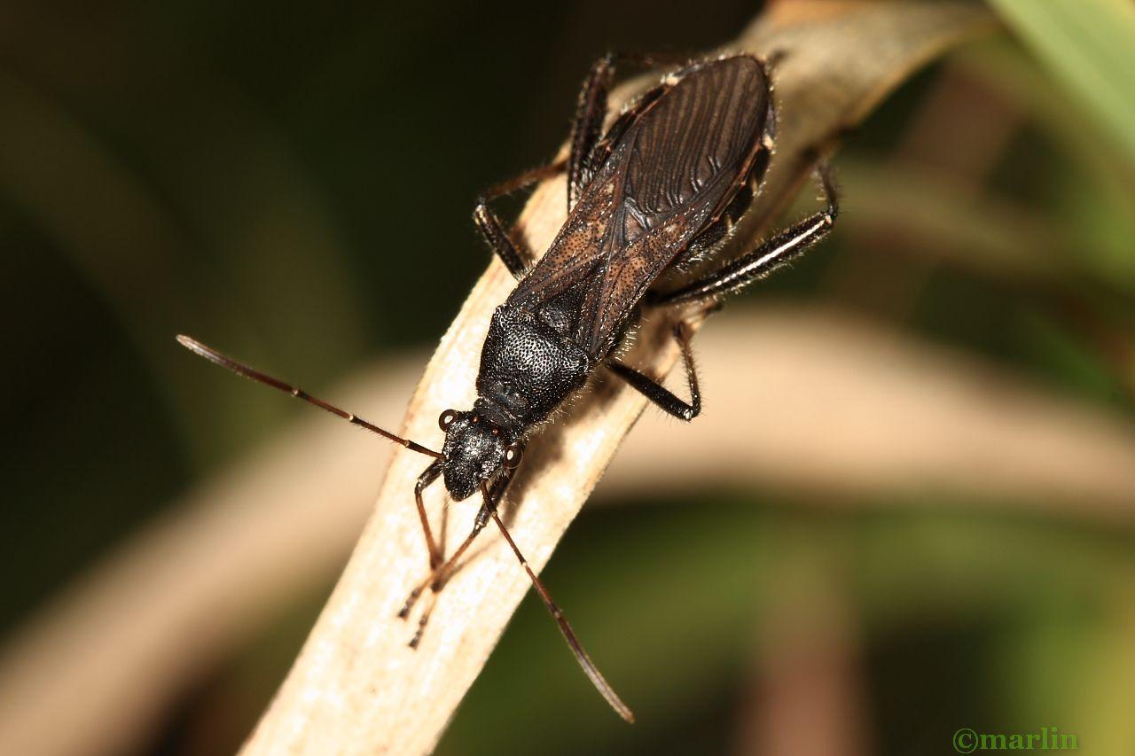 Broad-Headed Bug - Alydus eurinus