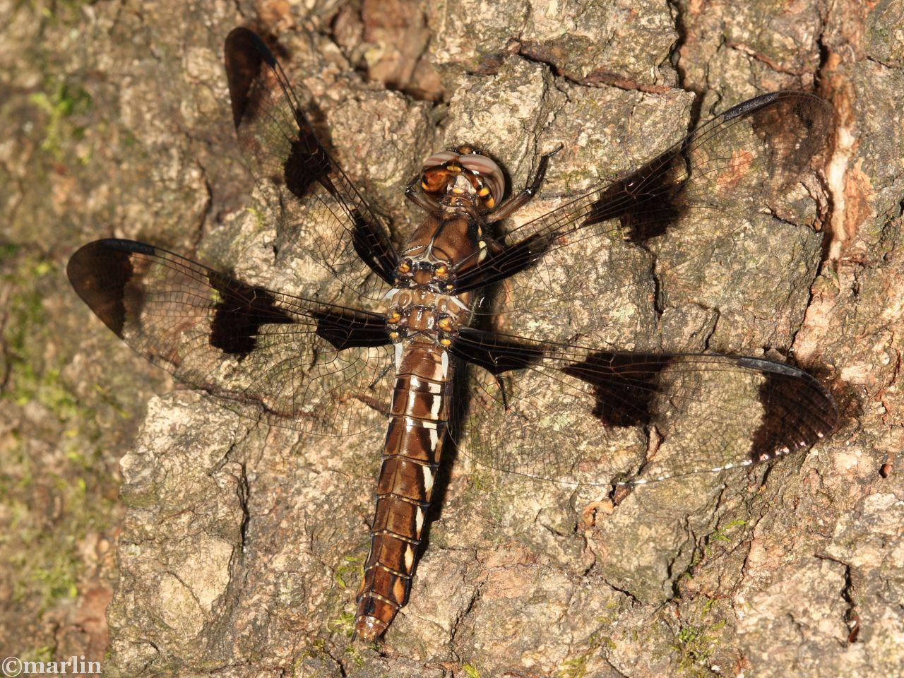 Common Whitetail Dragonfly - Plathemis lydia