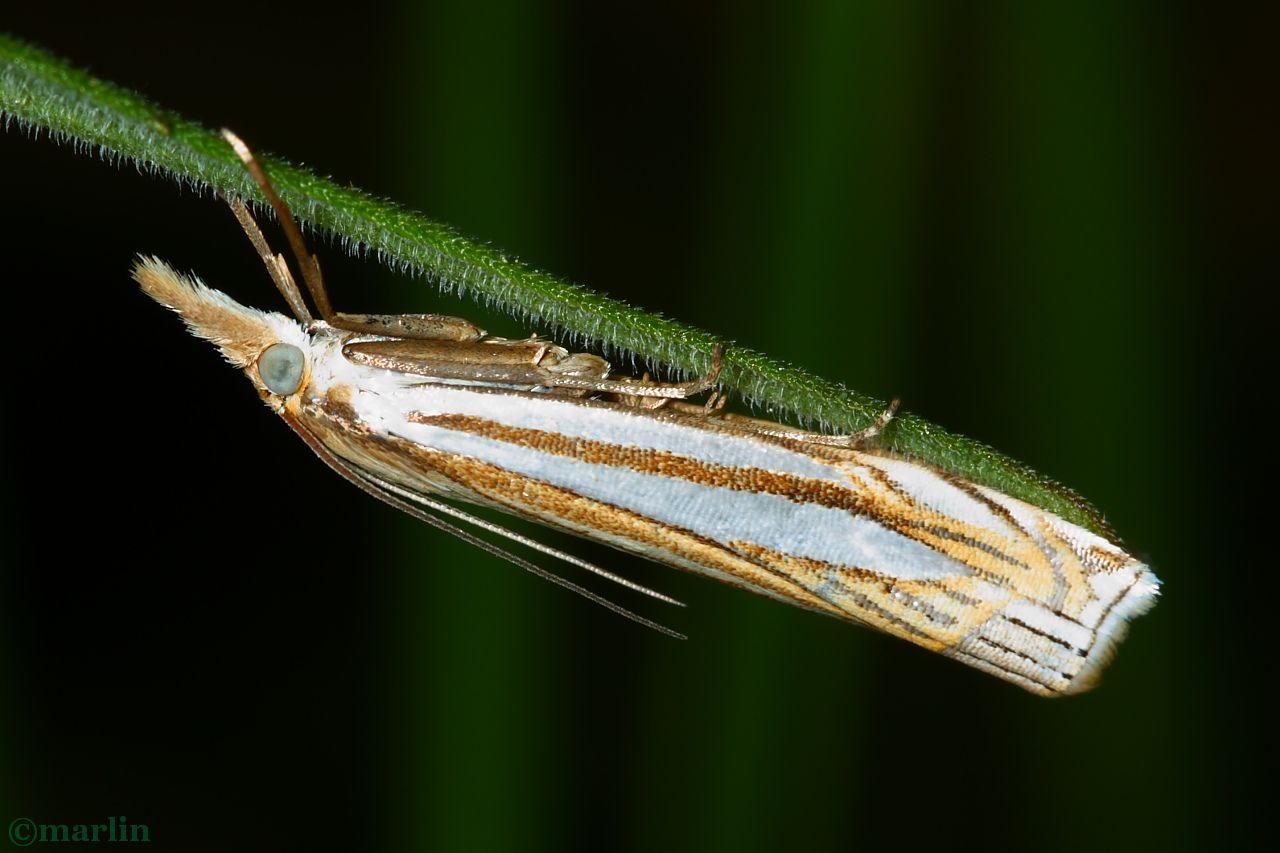 Eastern Grass-Veneer Moth - Crambus laqueatellus