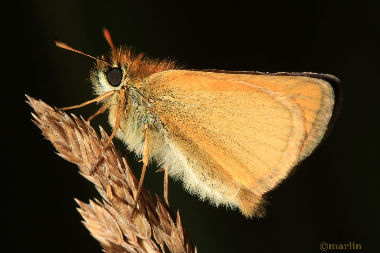 European Skipper Butterfly - Thymelicus lineola