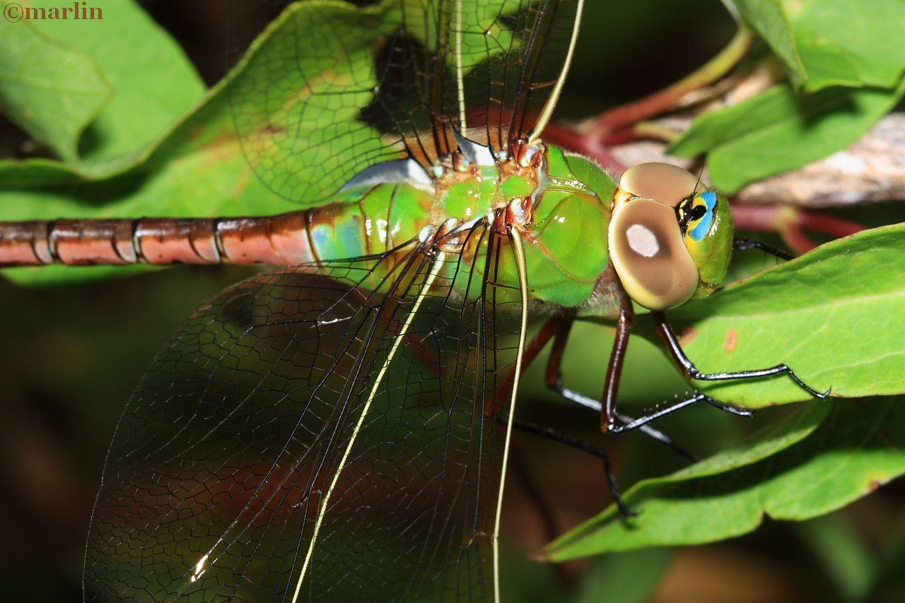 Green Darner Dragonfly - Anax junius