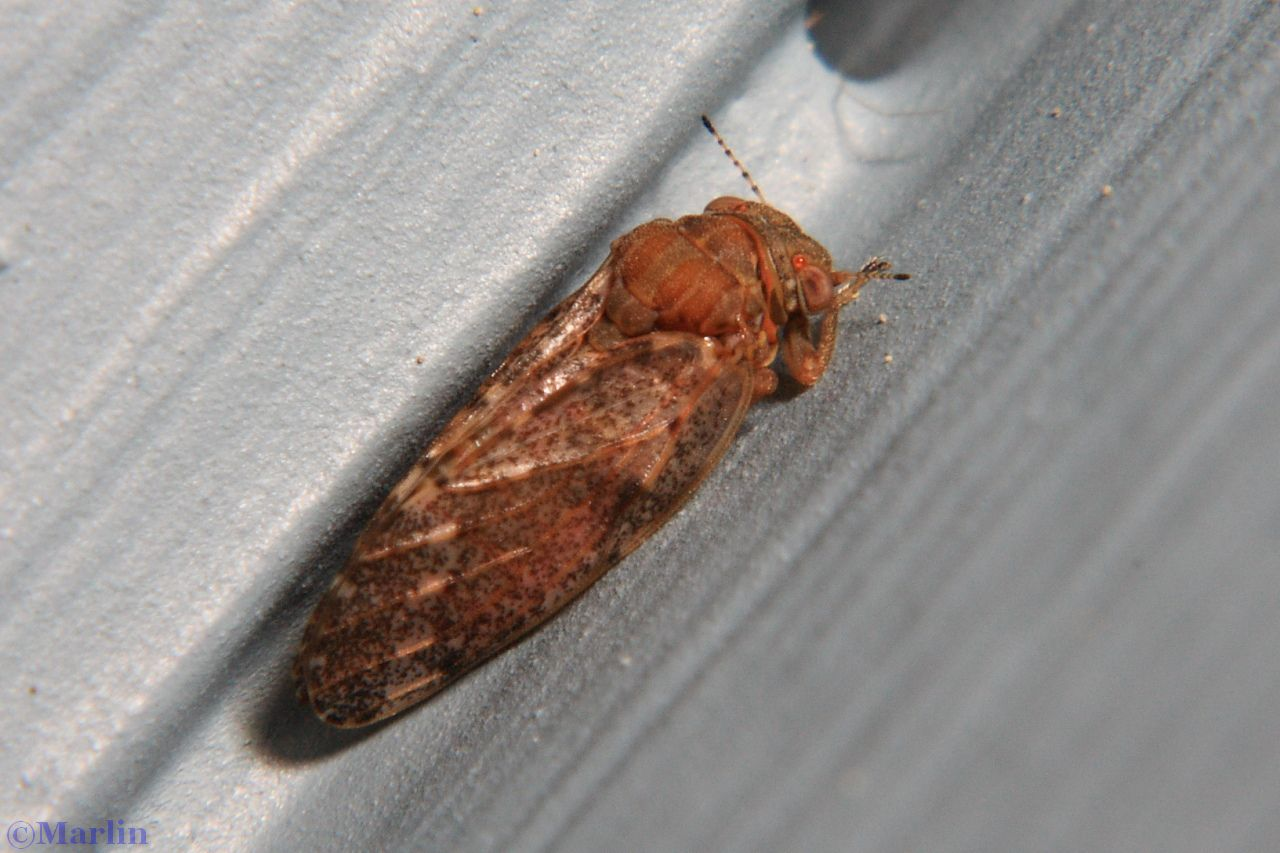 Hackberry Psyllid - Pachysylla sp.