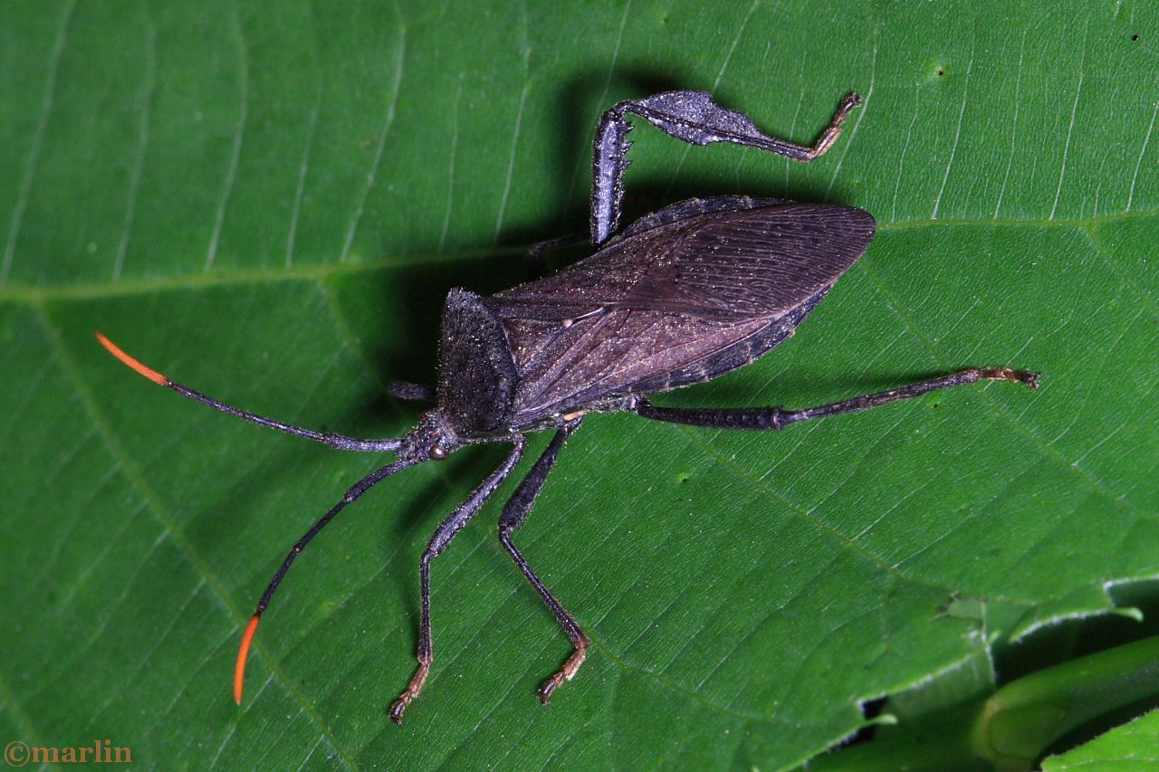 Leaf-Footed Bug - Acanthocephala terminalis