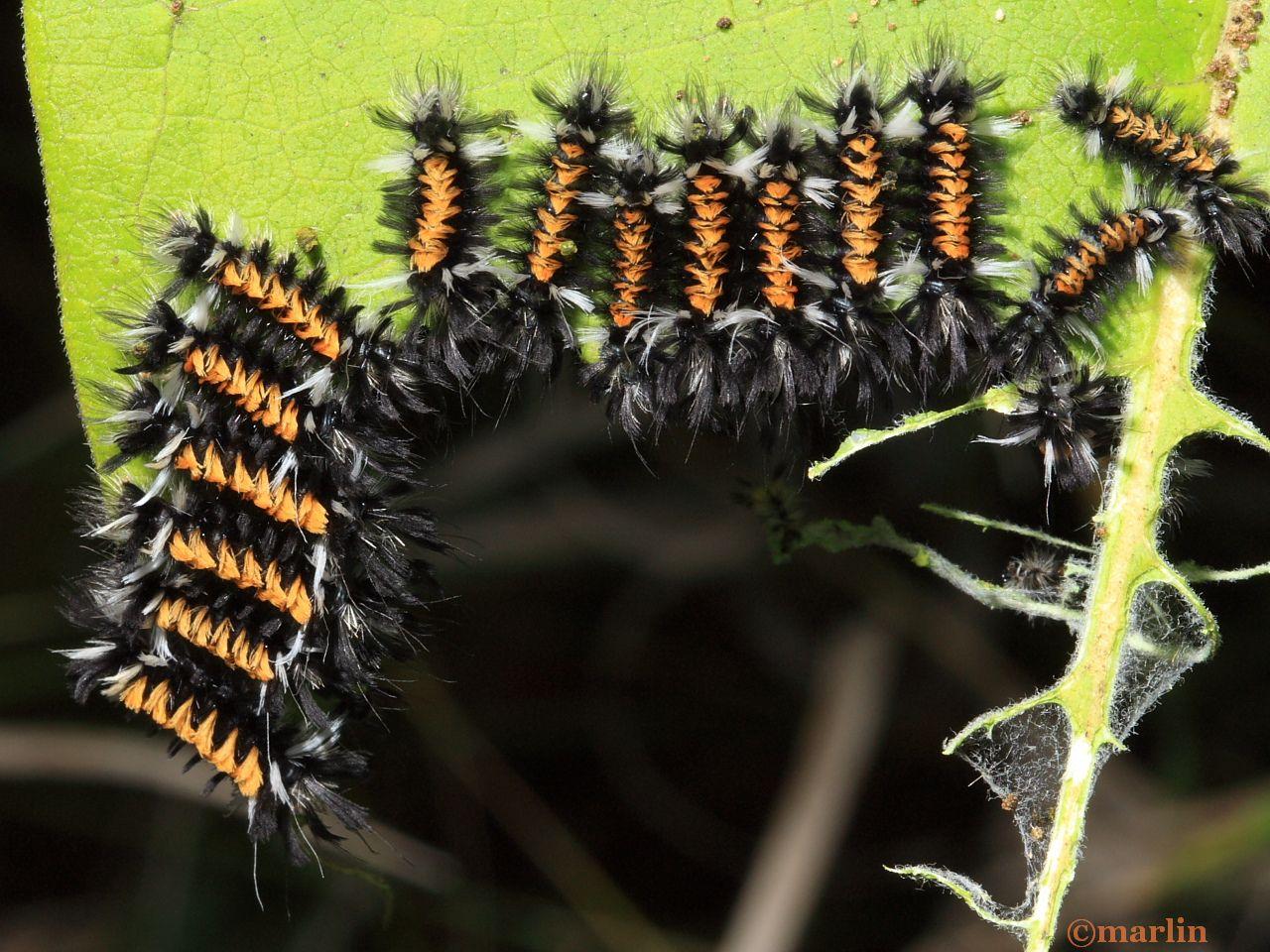 Milkweed tussock moth caterpillars gregarious feeding