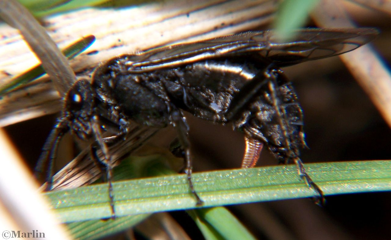 Sawfly Ovipositing