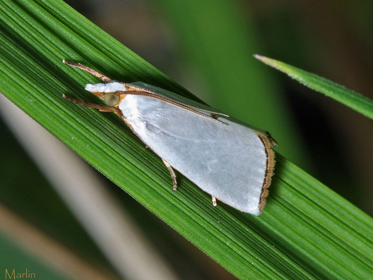 Snowy Urola Moth - Urola nivalis