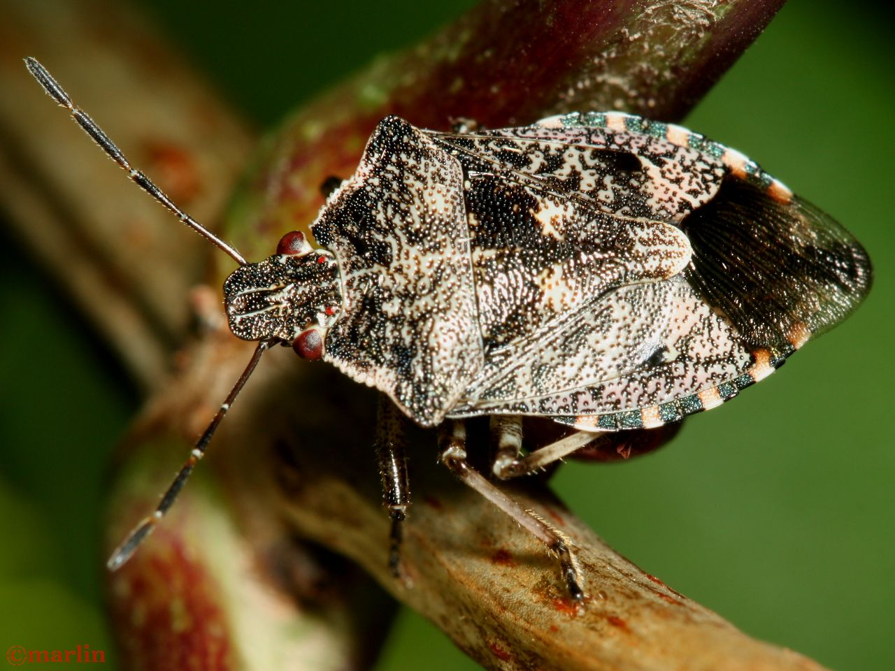 Predatory Stinkbug - Apateticus lineolatus