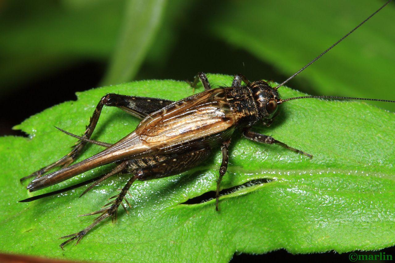 Striped Ground Cricket - Allonemobius fasciatus