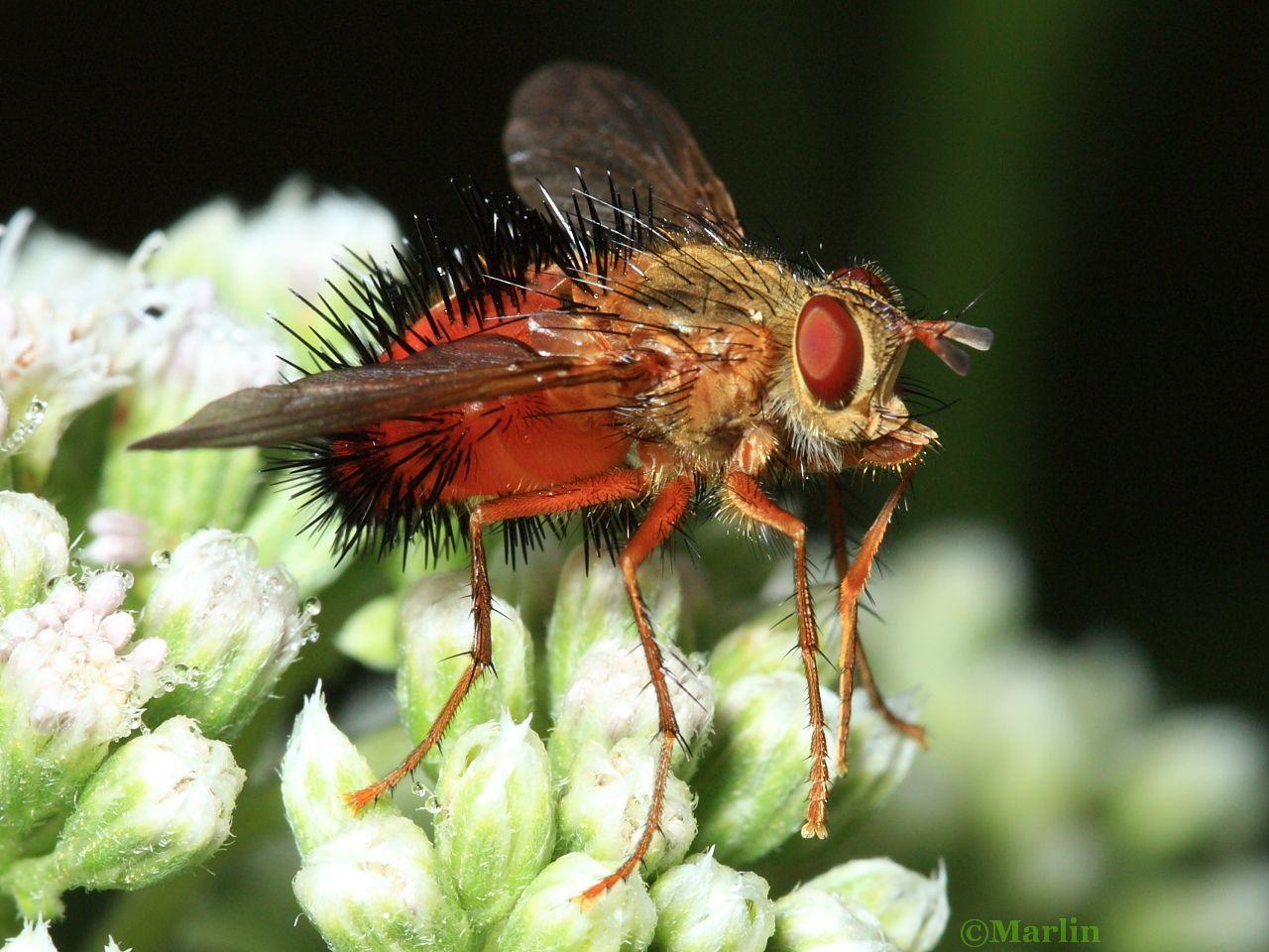 Tachinid Fly, Hystricia abrupta