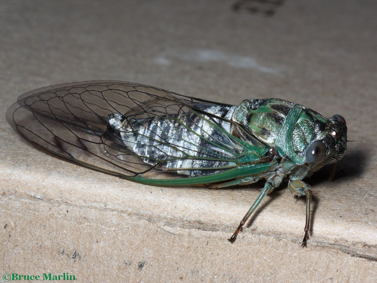 Newly-emerged periodic cicada