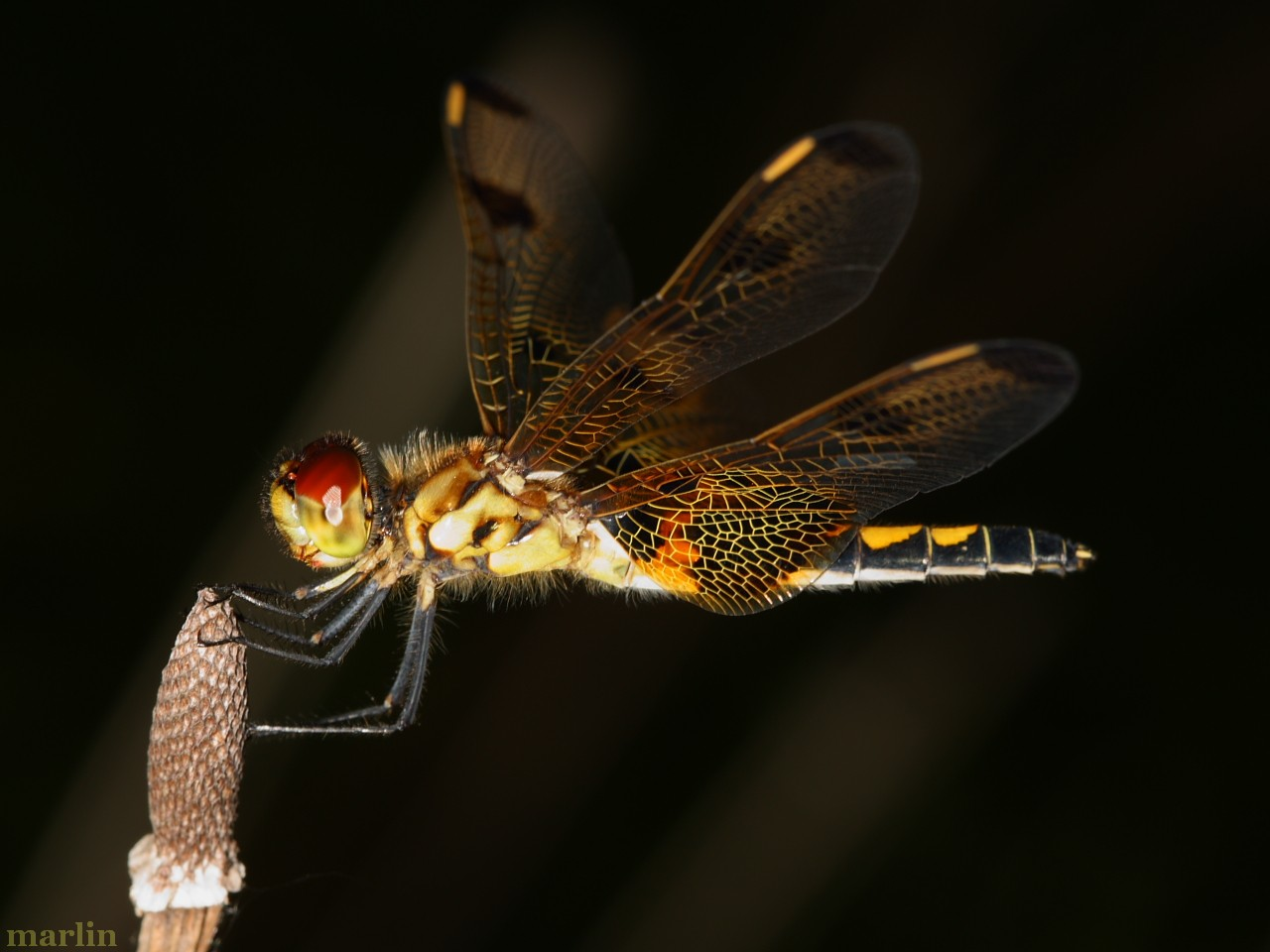 Calico Pennant Dragonfly Female