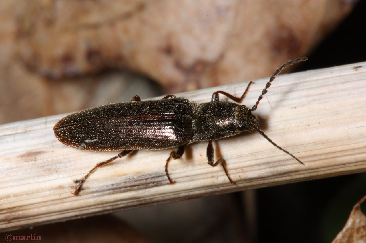 Click Beetle - Ctenicera cylindriformis