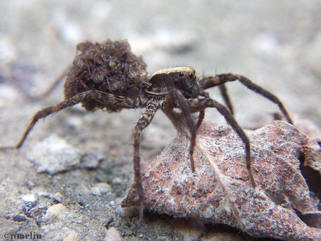 Wolf spider carrying hatchlings