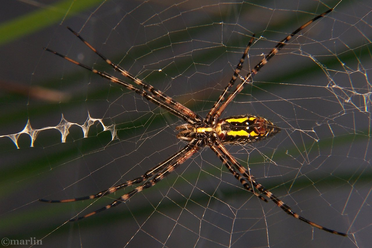 Black and yellow garden spider with web stabilimenta
