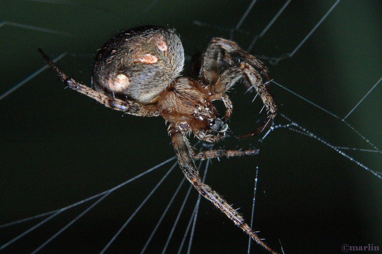 arabesque orbweaver female