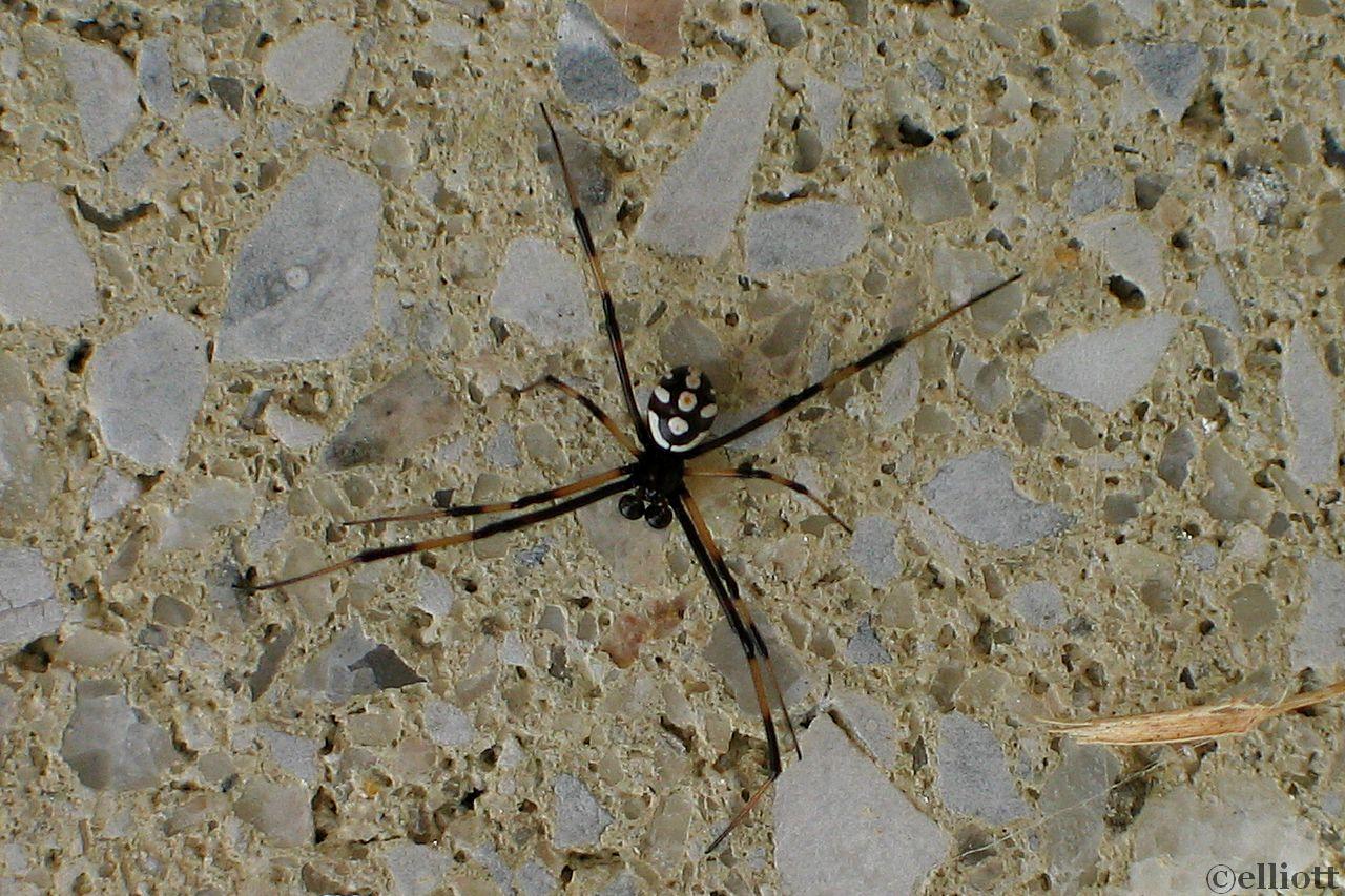 black widow male
