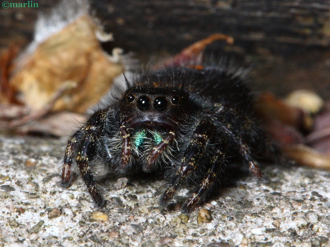 Female Bold Jumping Spider