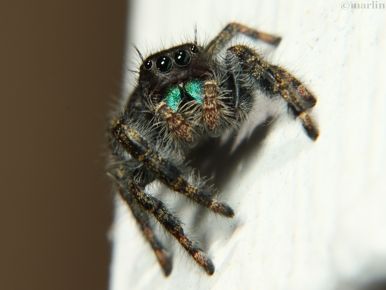 Bold Jumping Spider Phidippus Audax North American Insects Spiders