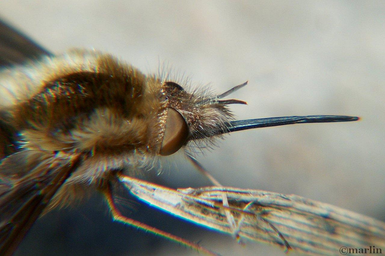 bombylius proboscis