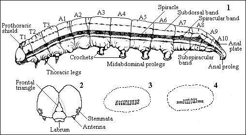 Caterpillar anatomy