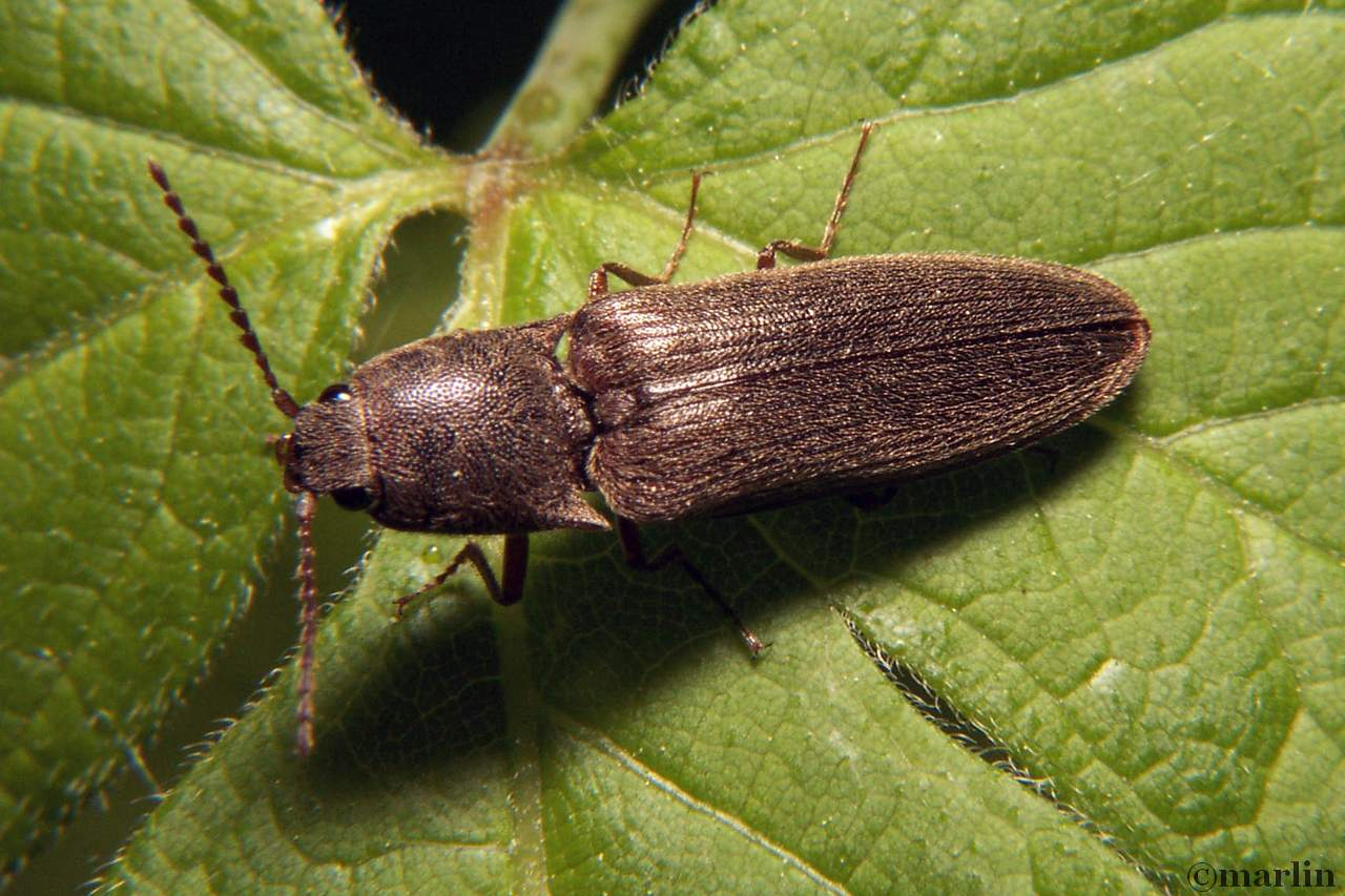 Click beetle Dalopius species