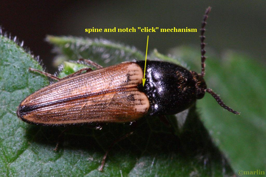 click beetle mechanism