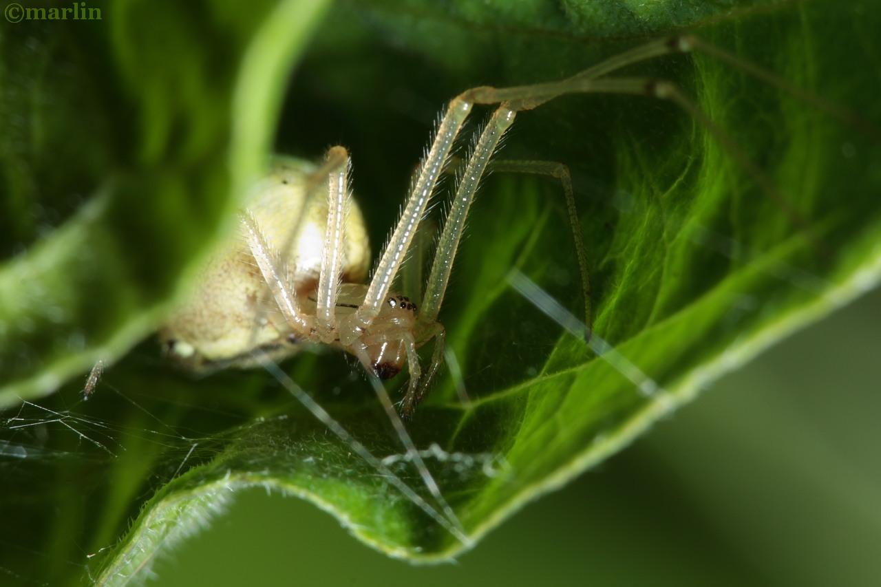 cobweb spider e ovata