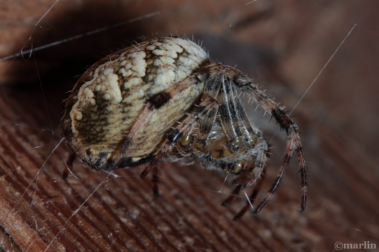 Cross Spider lateral