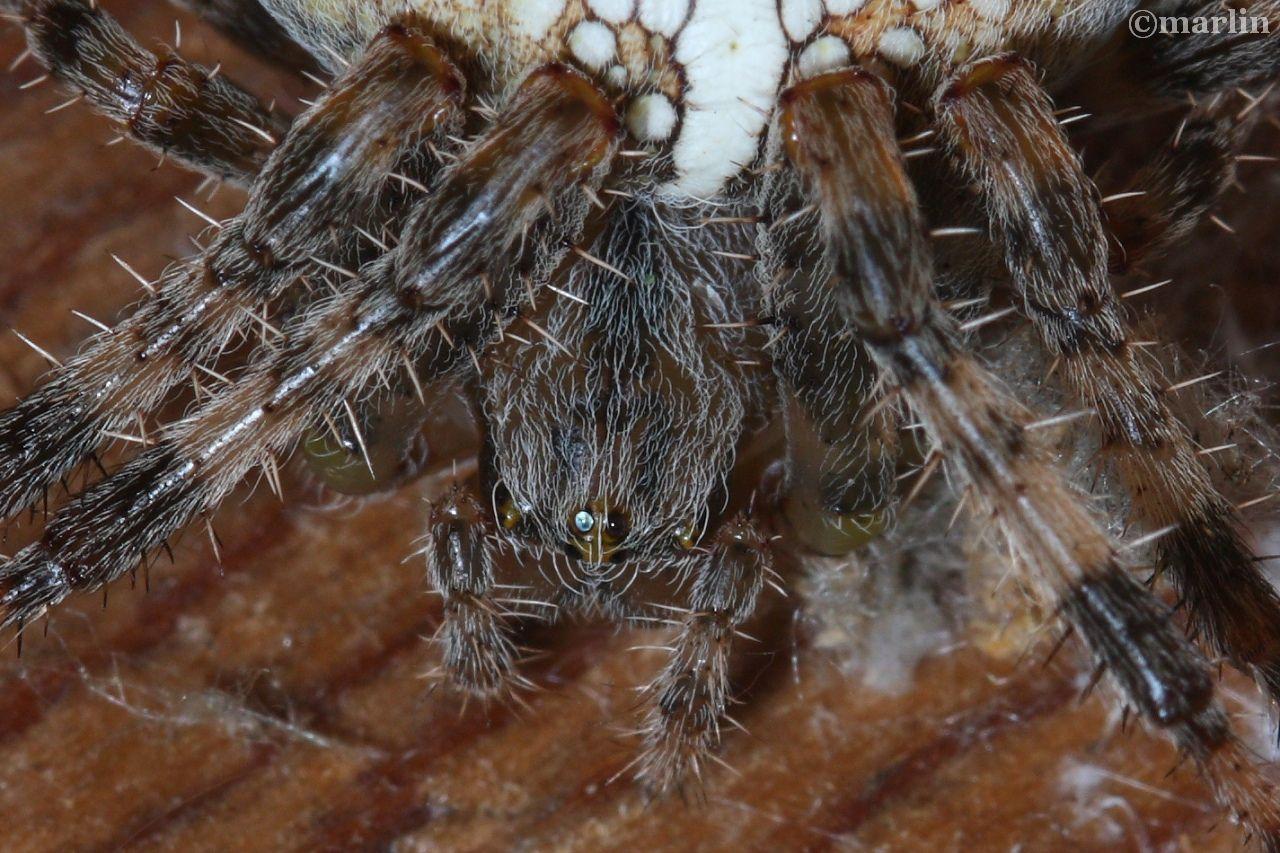 Cross Spider eyes
