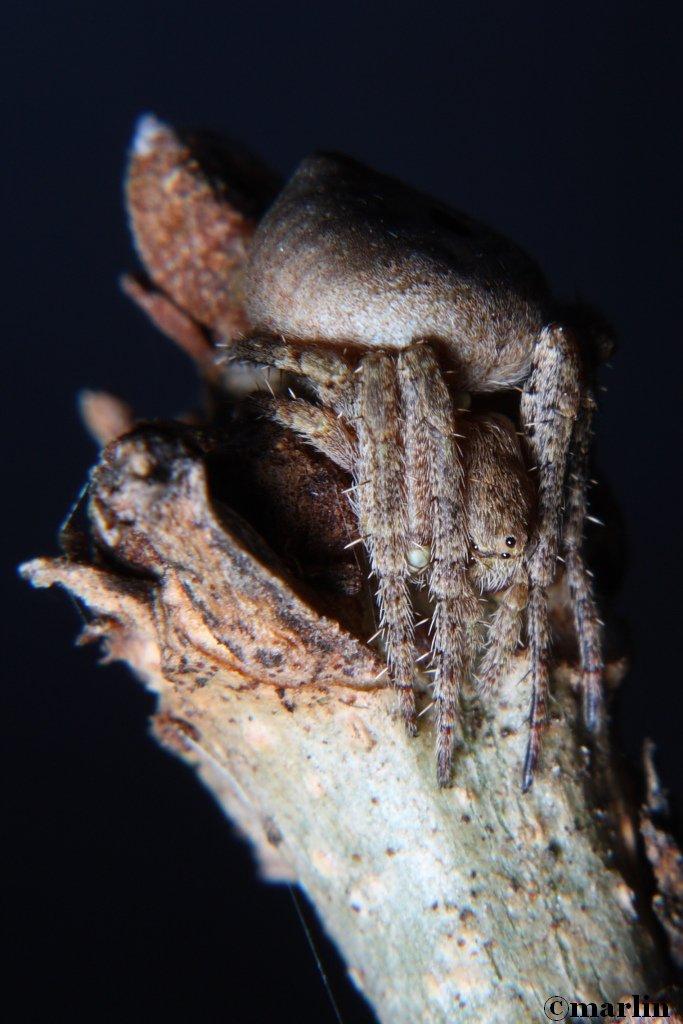 Humpbacked orb weaver