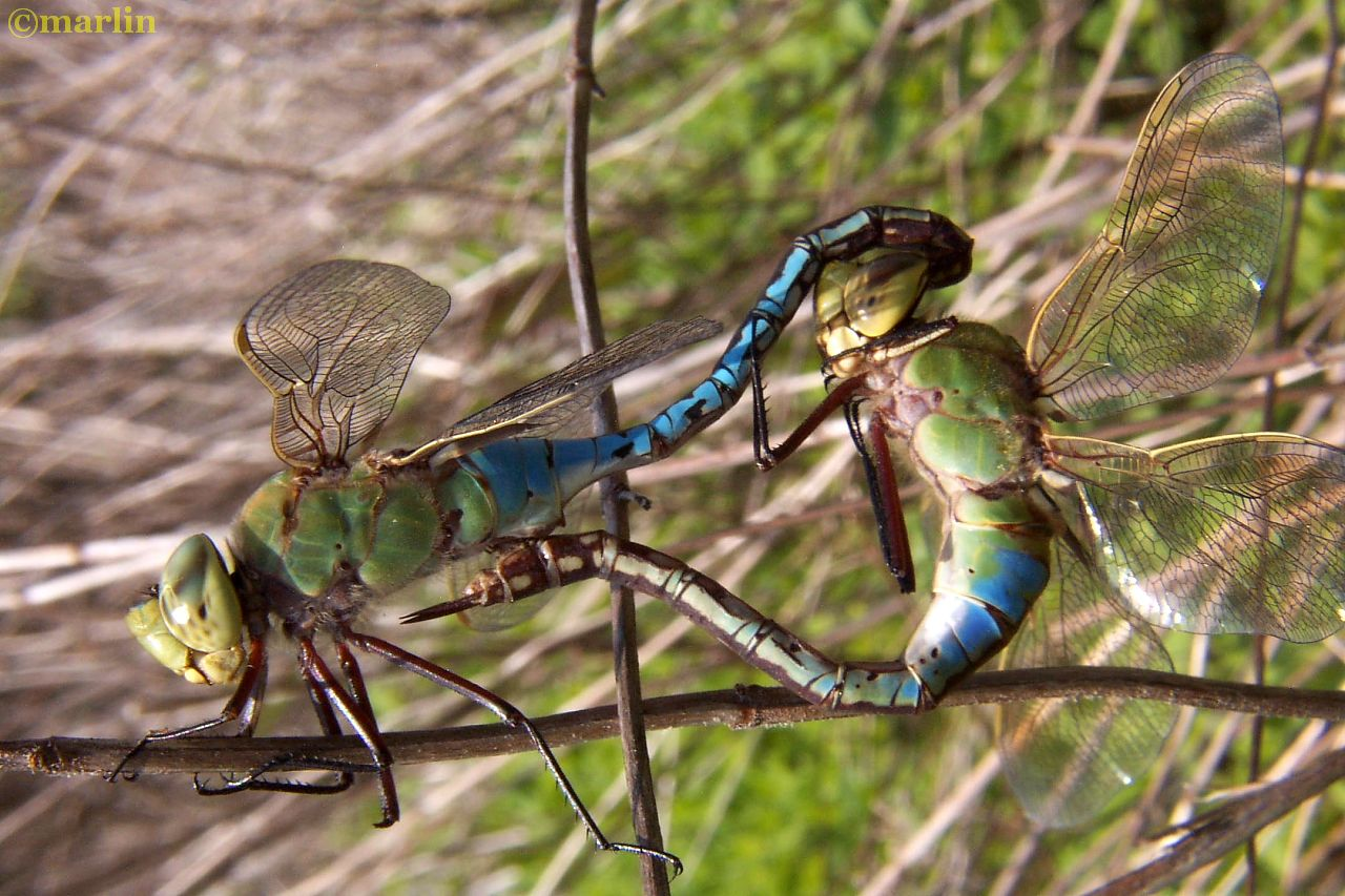 green darner mating wheel