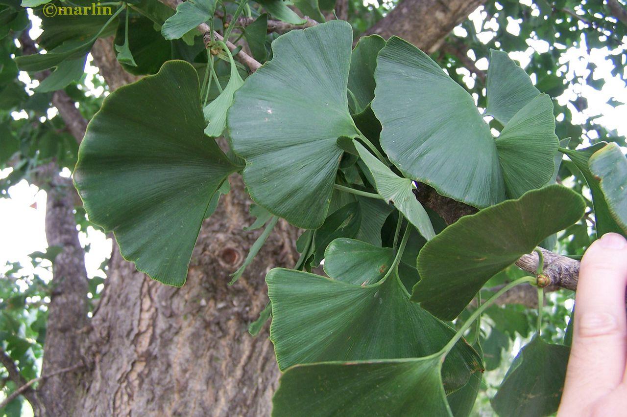 Ginkgo summer foliage