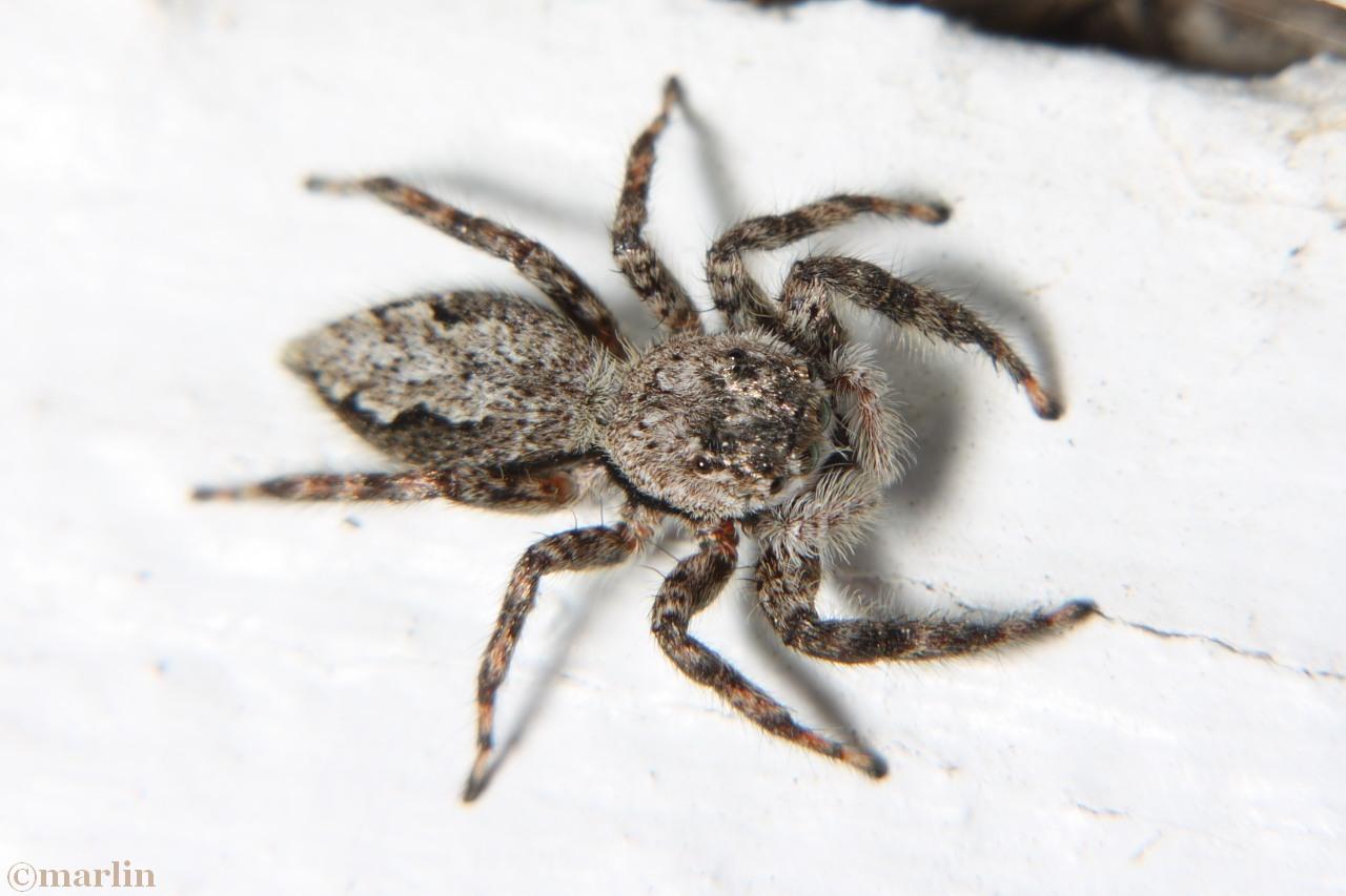 Female P. undatus