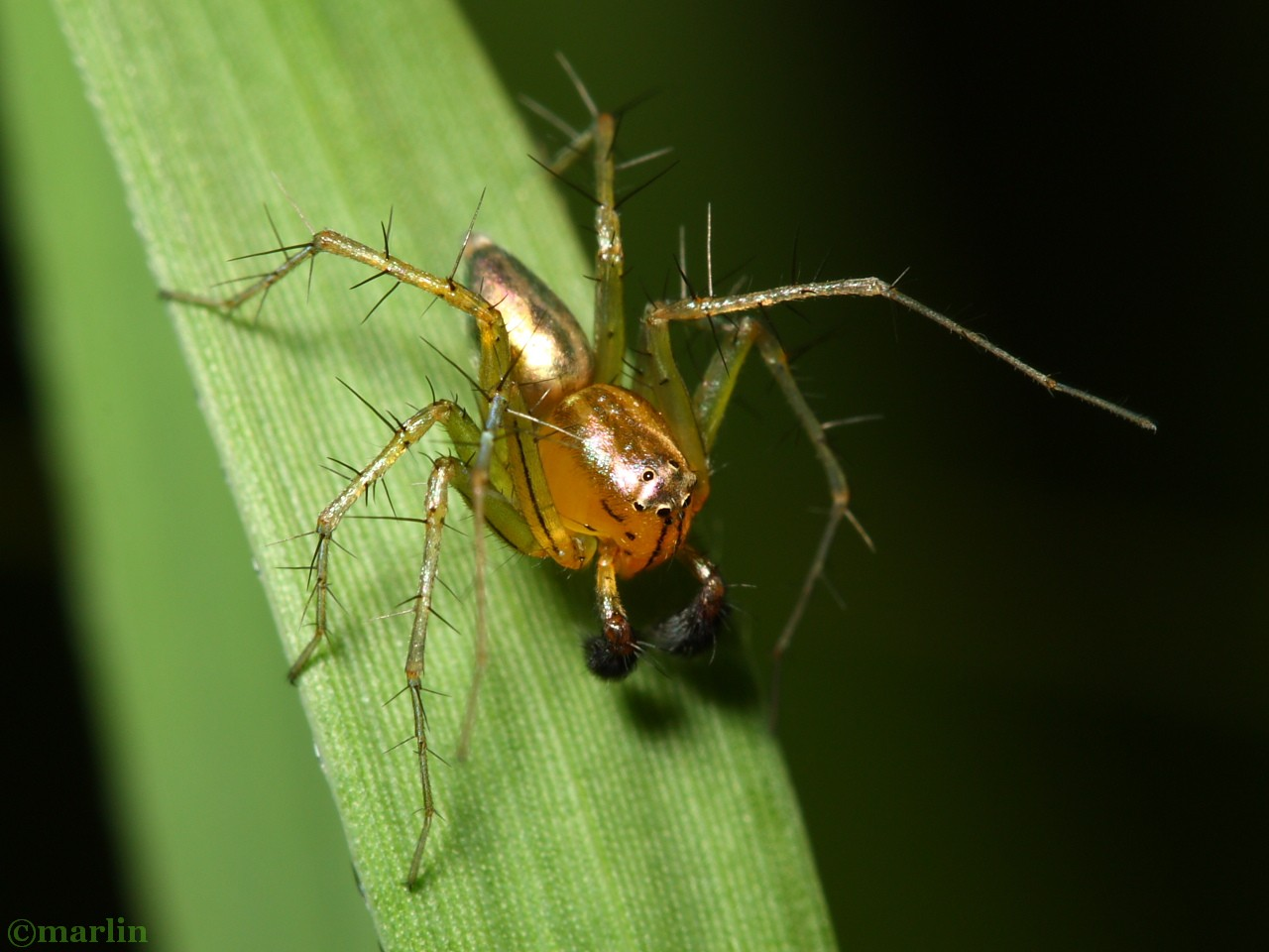 Male Lynx Spider - Oxyopes salticus