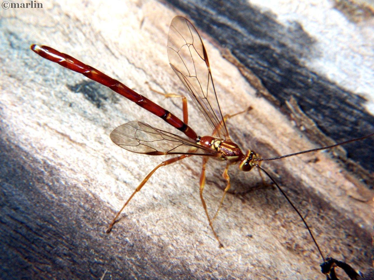 Megarhyssa male wasp