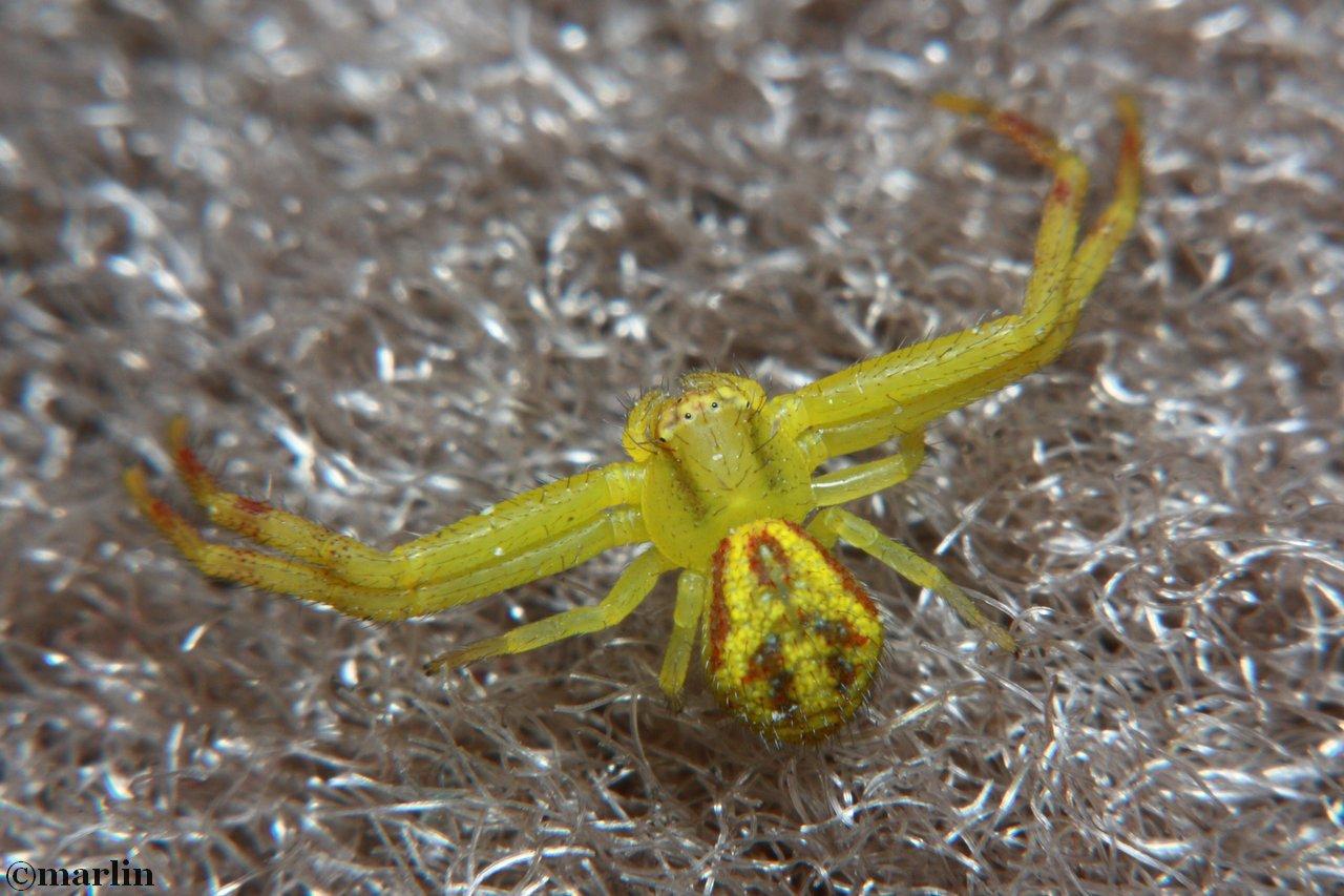 Northern Crab Spider