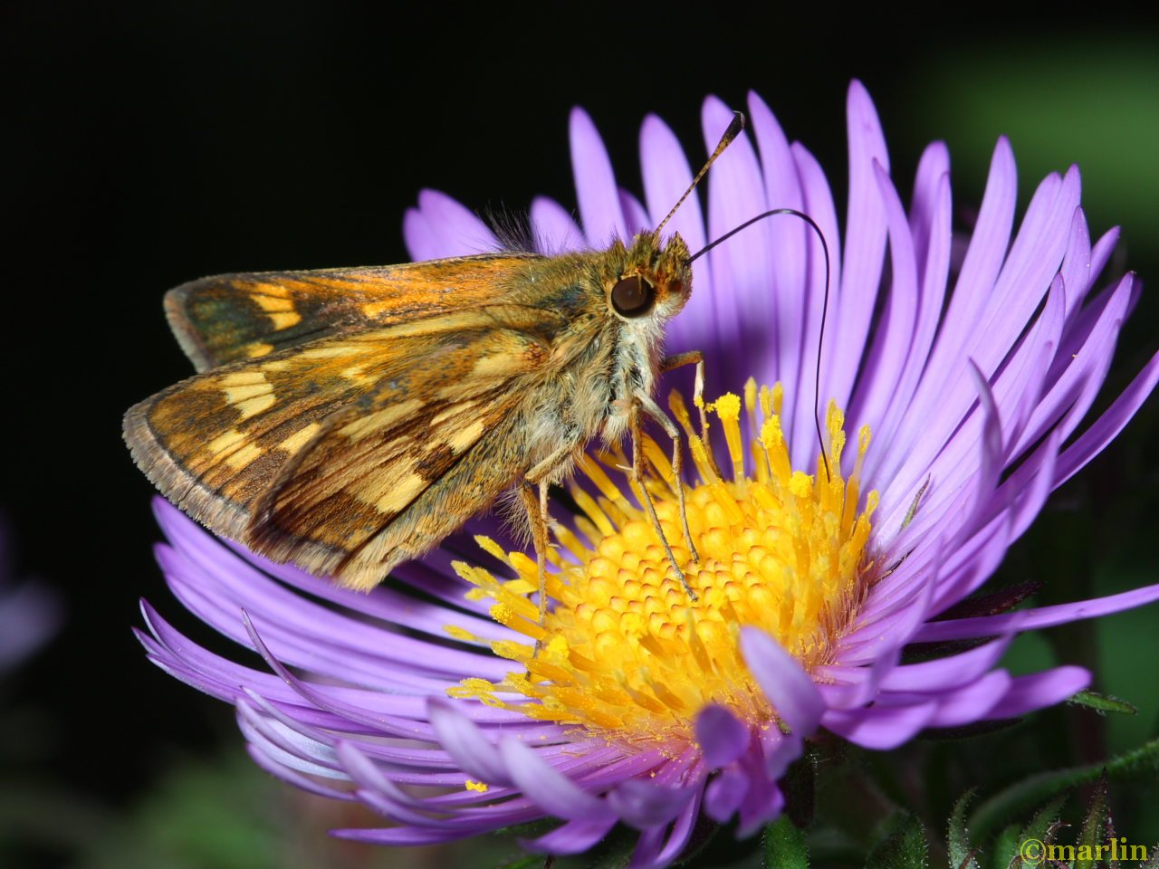 Peck's skipper on New England Aster